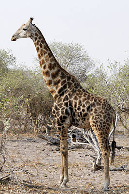 Photograph - Giraffe by Robert Shard