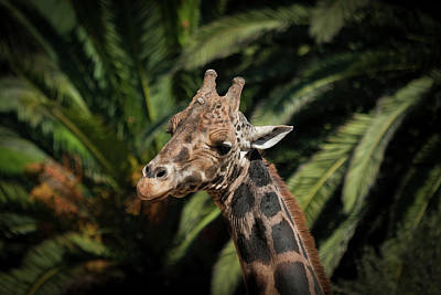 Art Print featuring the photograph Giraffe  by Roger Mullenhour