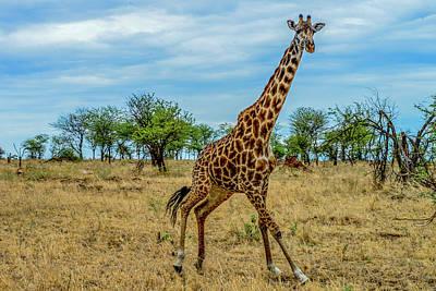 Photograph - Giraffe Running by Marilyn Burton