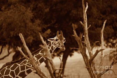 Photograph - Giraffe Sepia by Douglas Barnard