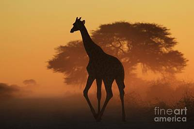 Photograph - Giraffe Silhouette - Natural Triangles by Hermanus A Alberts
