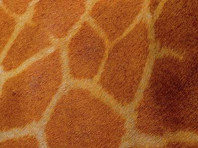 Unschooling Photograph - Giraffe Skin Close Up 1 by Exploramum Exploramum