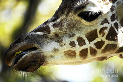 Photograph - Giraffe Snack by John Rizzuto