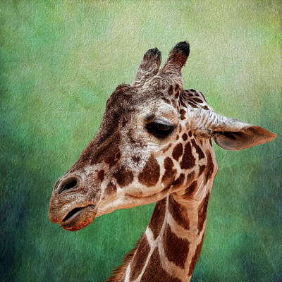 Photograph - Giraffe Square by Judy Vincent