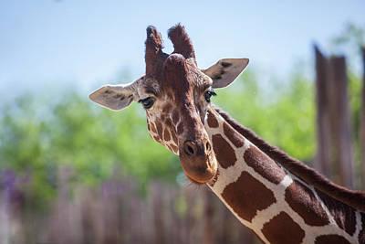 Photograph - Giraffe by Steve Gravano