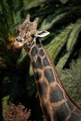 Photograph - Giraffe Study 2 by Roger Mullenhour