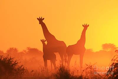 Photograph - Giraffe Sunset - Portrait Of A Golden Family by Hermanus A Alberts