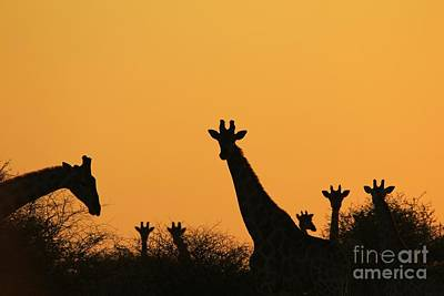Photograph - Giraffe Sunset - Silhouette Of Peace And Freedom by Hermanus A Alberts