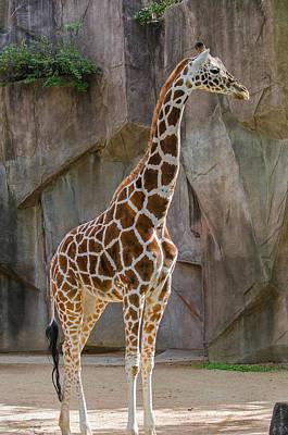Photograph - Giraffe  by Susan  McMenamin