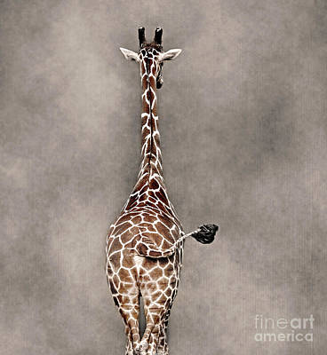 Photograph - Giraffe Swag by Sonya Lang