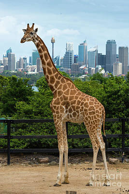 Photograph - Giraffe Sydney 2 by Andrew Michael