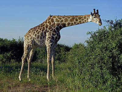 Photograph - Giraffe by Tony Murtagh