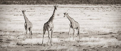 Giraffe Trio - Black And White Giraffe Photograph Art Print by Duane Miller