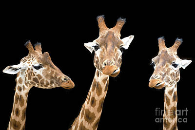 Photograph - Giraffe Trio by Jane Rix
