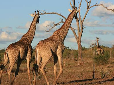 Photograph - Giraffe Trio by Karen Zuk Rosenblatt