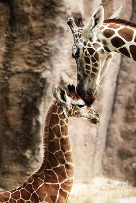 Photograph - Giraffe With Baby by Traci Law