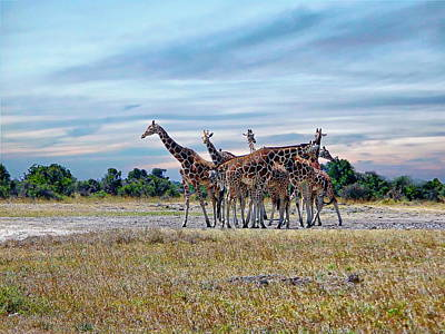 Photograph - Giraffes by Anthony Dezenzio