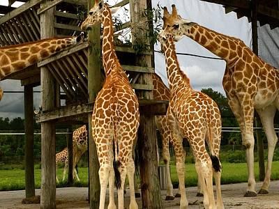 Giraffes At Lunch Art Print
