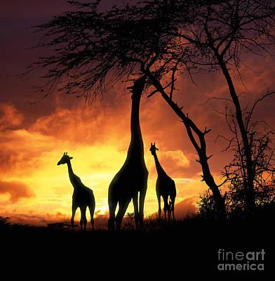 Photograph - Giraffes At Runrise by Warren Photographic