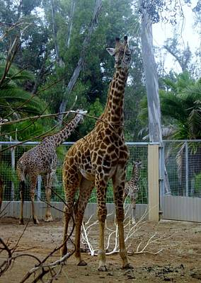 Photograph - Giraffes At San Diego Zoo 2015 by Phyllis Spoor