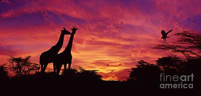 Photograph - Giraffes At Sunset by Warren Photographic