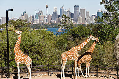 Photograph - Giraffes At Taronga Sydney by Miroslava Jurcik