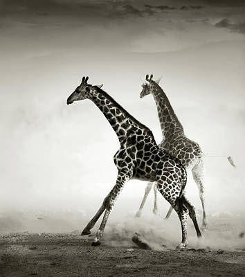 Black And White Flower Photography - Giraffes fleeing by Johan Swanepoel