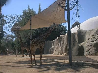 Giraffes Art Print by Guillermo Mason