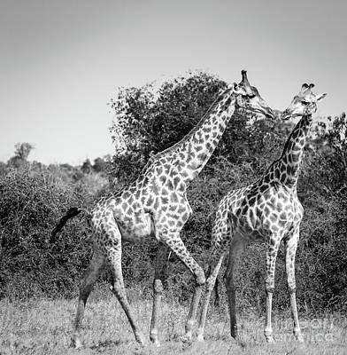 Giraffes In Africa Black And White Art Print