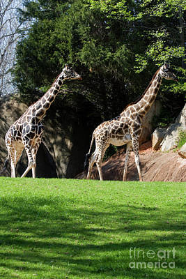 Photograph - Giraffes by Jill Lang