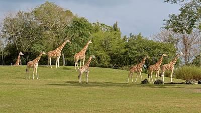 Photograph - Giraffes Of Busch Gardens by Carol Bradley