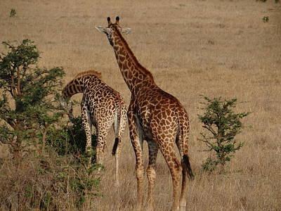 Exploramum Wall Art - Photograph - Giraffes On A Walk About To Eat by Exploramum Exploramum