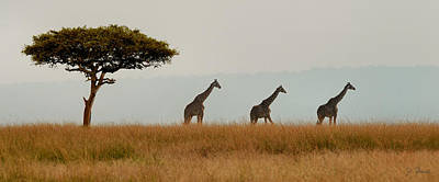 Giraffes On Parade Art Print