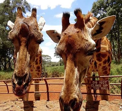 Exploramum Photograph - Giraffes Over The Fence by Exploramum Exploramum