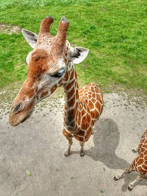 Giraffe's Point Of View Art Print by Michael Garyet