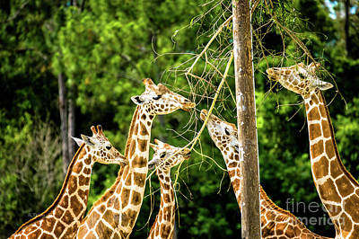 Photograph - West African Giraffes by Rene Triay Photography