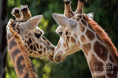 Photograph - Giraffes by Sonya Lang