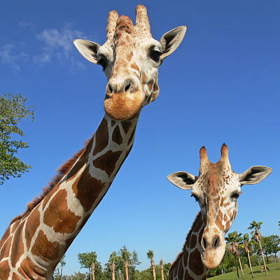 Giraffe Wall Art - Photograph - Giraffes by Steven Sparks