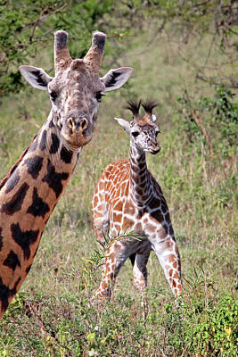 Photograph - Giraffes - That's My Baby by Gill Billington