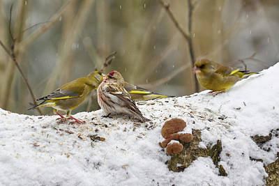 Photograph - Give Me A Kiss. Redpolls And Greenfinches by Jouko Lehto