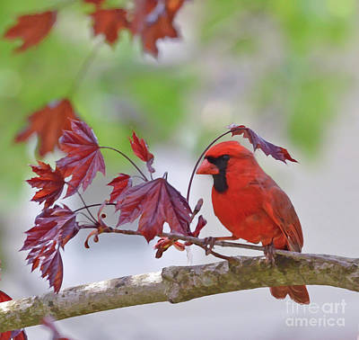 Photograph - Give Me Shelter - Male Cardinal by Kerri Farley