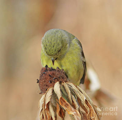 Goldfinch Photograph - Give Thanks by Gary Wing
