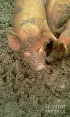 Photograph - Give Us A Kiss - Tamworth Pigs Mucking About by Anthony Manders