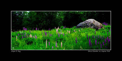 Photograph - Glacial Boulder In A Lupine Field Poster by Wayne King