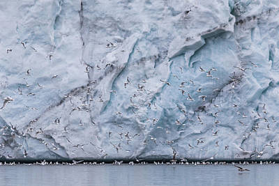 Photograph - Glacial Wall Of Arctic Kittiwakes by Lauri Novak