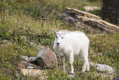 Photograph - Glacier - Baby Mountain Goat 2 by Jemmy Archer