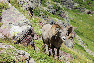 Photograph - Glacier Big Horn Sheep by John McGraw