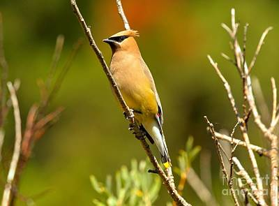 Glacier Cedar Waxwing Art Print by Adam Jewell