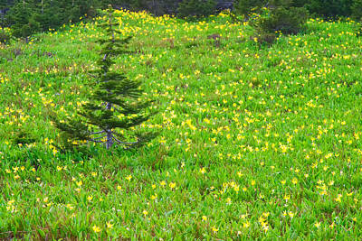 Photograph - Glacier Lilies And Pine Tree - Glacier National Park by Ram Vasudev