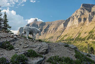 Photograph - Glacier National Park Mountain Goat by John McGraw